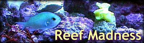 Reef Madness: Sea Fan, Chromis, and Yellow Tonga Leather